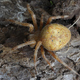 Cross spider (Araneus diadematus) - PhotoDune Item for Sale