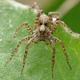 Wolf spider (Pardosa) - PhotoDune Item for Sale