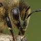 European honey bee (Apis mellifera) - PhotoDune Item for Sale