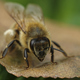 European honey bee (Apis mellifera) - PhotoDune Item for Sale