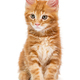 Small Maine Coon kitten - PhotoDune Item for Sale