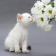 White British kitten and  daisies - PhotoDune Item for Sale