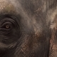 Eye of Asian Elephant (Elephas Maximus) - VideoHive Item for Sale