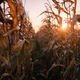 Ripe corn on a rural field - PhotoDune Item for Sale