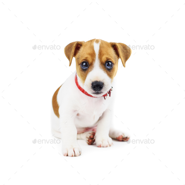 jack russel puppy isolated on white stock photoivankmit | photodune