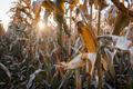 Ripe corn on a rural field - PhotoDune Item for Sale