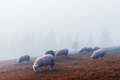 Herd of sheeps in autumn mountains - PhotoDune Item for Sale