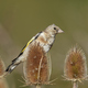 European goldfinch (Carduelis carduelis) - PhotoDune Item for Sale