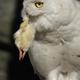 Snowy owl (Bubo scandiacus) - PhotoDune Item for Sale