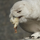Snowy owl (Bubo scandiacus) - PhotoDune Item for Sale