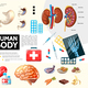 Cartoon Human Body Anatomy Infographics - GraphicRiver Item for Sale