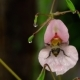 Impatiens Glandulifera Royle and Bumblebee - VideoHive Item for Sale