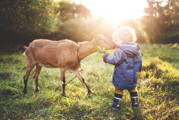 A little toddler boy feeding a goat outdoors on a meadow at sunset. - Stock Photo - Images