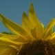 Detailed Shooting of a Sunflower - VideoHive Item for Sale