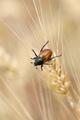 Wheat grain beetle bug sitting on a grain - PhotoDune Item for Sale