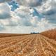 The harvest of corn - PhotoDune Item for Sale