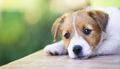 Adorable cute puppy thinking - dog therapy concept - PhotoDune Item for Sale