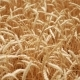 Dry Yellow Wheat in the Field in the Summer Ready for Mowing - VideoHive Item for Sale