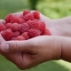 Woman Farmer Holding a Ripe Raspberries - VideoHive Item for Sale