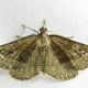 Shaded broad-bar moth (Scotopteryx chenopodiata) - PhotoDune Item for Sale