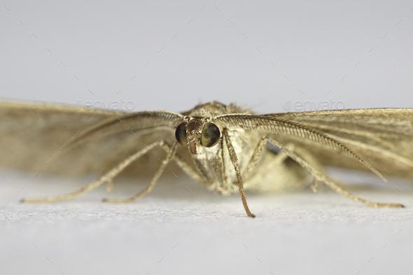 Shaded broad-bar moth (Scotopteryx chenopodiata) - Stock Photo - Images