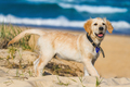 Little golden retriever exploring the beach surroundings - PhotoDune Item for Sale