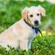 Golden retriever puppy exploring the beach - PhotoDune Item for Sale