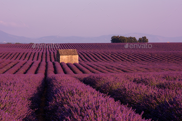 purple lavender flowers field with lonely old stone house - Stock Photo - Images