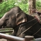 Asian Elephant (Elephas Maximus) in Enclosure in Thailand - VideoHive Item for Sale