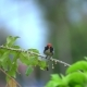 Scarlet-backed Flowerpecker (Dicaeum Cruentatum) Sitting on Tree Branch - VideoHive Item for Sale