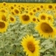 Field with Yellow Sunflowers - VideoHive Item for Sale