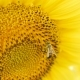 Bee Collects Pollen on Sunflower - VideoHive Item for Sale