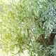 Olives on olive tree branch with selective focus and shallow depth of field - PhotoDune Item for Sale
