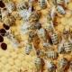 Colony of Bees Working in a Hive - VideoHive Item for Sale