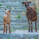 Curious Goat And Kid - PhotoDune Item for Sale
