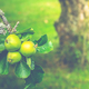 Apple Tree In Summer - PhotoDune Item for Sale