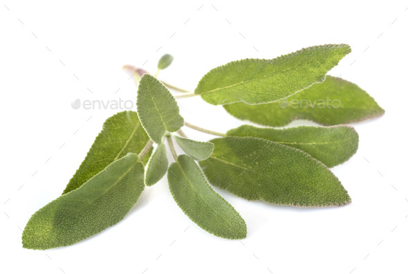 Salvia officinalis in studio - Stock Photo - Images