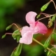 Impatiens Glandulifera Royle with Raindrops - VideoHive Item for Sale