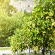 vineyard with ripe grapes in countryside with sunshine - PhotoDune Item for Sale