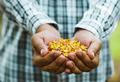 Corn - PhotoDune Item for Sale