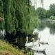 Young Woman Feeds Swans in the Summer Park Pond - VideoHive Item for Sale