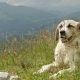 Lonely Big Light Shepherd Dog Resting in the Mountains - VideoHive Item for Sale