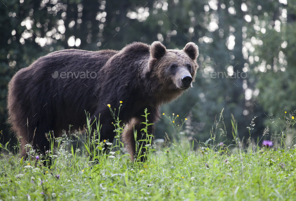 Brown bear - Stock Photo - Images