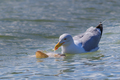 seagull in Danube Delta, Romania - PhotoDune Item for Sale