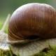 Helix Pomatia Also Roman Snail, Burgundy Snail - VideoHive Item for Sale