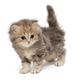 Shaggy, grey British kitten - PhotoDune Item for Sale