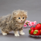 Small British  kitten and  strawberry - PhotoDune Item for Sale