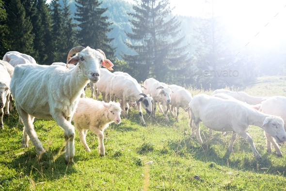 Traditional sheep pasture in Polish Pieniny mountains range - Stock Photo - Images
