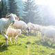 Traditional sheep pasture in Polish Pieniny mountains range - PhotoDune Item for Sale