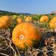 Pumpkin field with big orange ripe pumpkins on a bright sunny day - PhotoDune Item for Sale